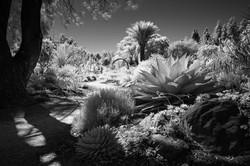 Ruth Bancroft Garden Infrared