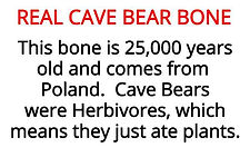cave bear bone from our stone age artefacts for primary schools topic box