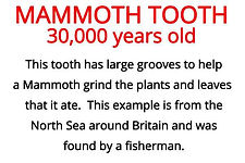 a mammoth tooth from our fossils artefacts for primary schools box