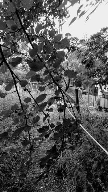The Zen Mulberry Tree