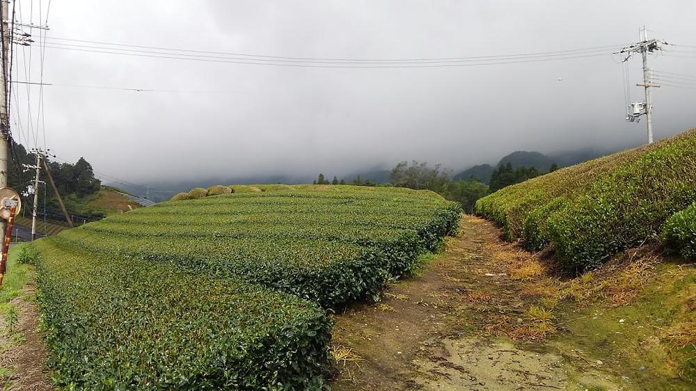 Tea fields in Wazuka, Kyoto prefecture