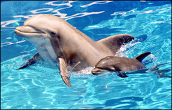 dolphin with baby