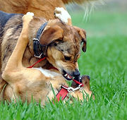 dogs_play_meadow_edited.jpg