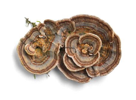 A Guide to Turkey Tail Mushroom