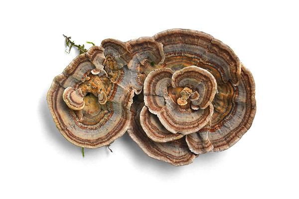 trametes versicolor mushroom, commonly t