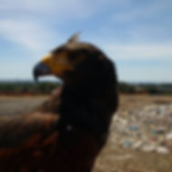 Harris Hawk providing non-kill bird control at a landfill.