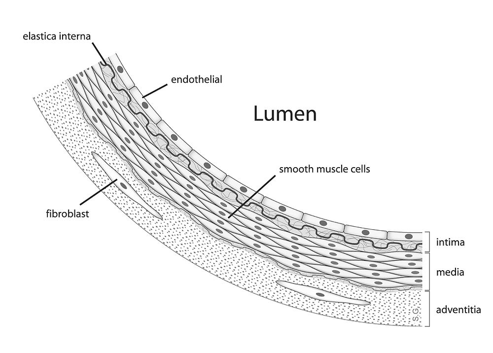 Anatomía de vaso sanguíneo tomada de Wikimedia
