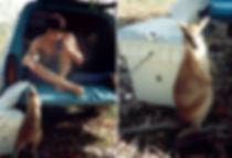 חיית כיס, אוסטרליה - יומן מסע - טיול אחרי צבא
