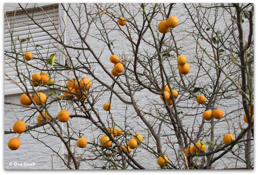 עץ הדרים - חיפה