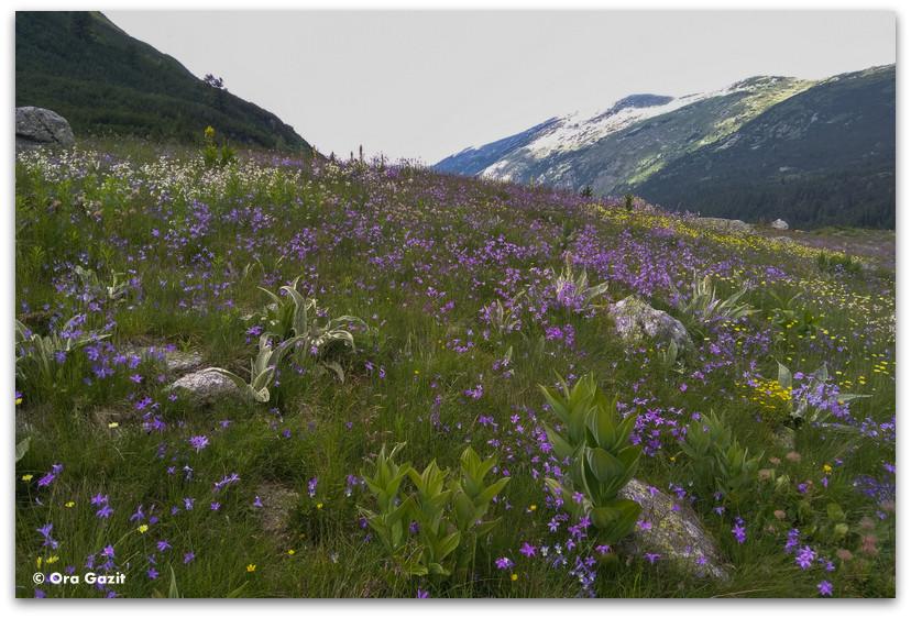 שדה פרחים סגול - טרק הרי רילה בולגריה - יומן מסע
