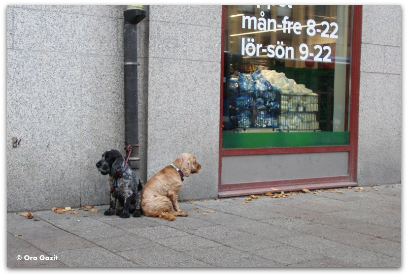 זוג כלבים - שטוקהולם