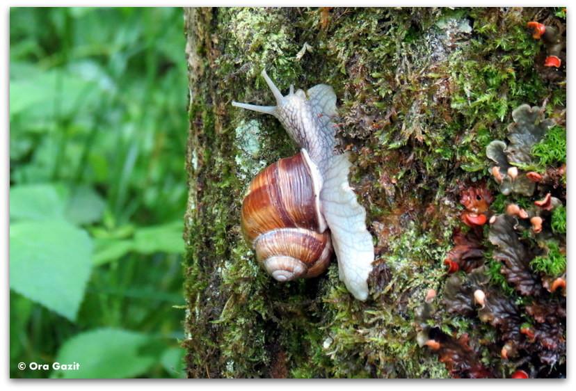 חילזון על עץ - טרק - סובב מון בלאן