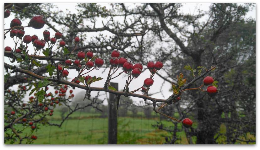 פירות אדומים - טרק - וולס