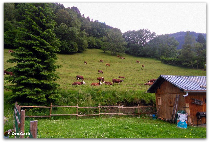 פרות במרעה - טרק - סובב מון בלאן
