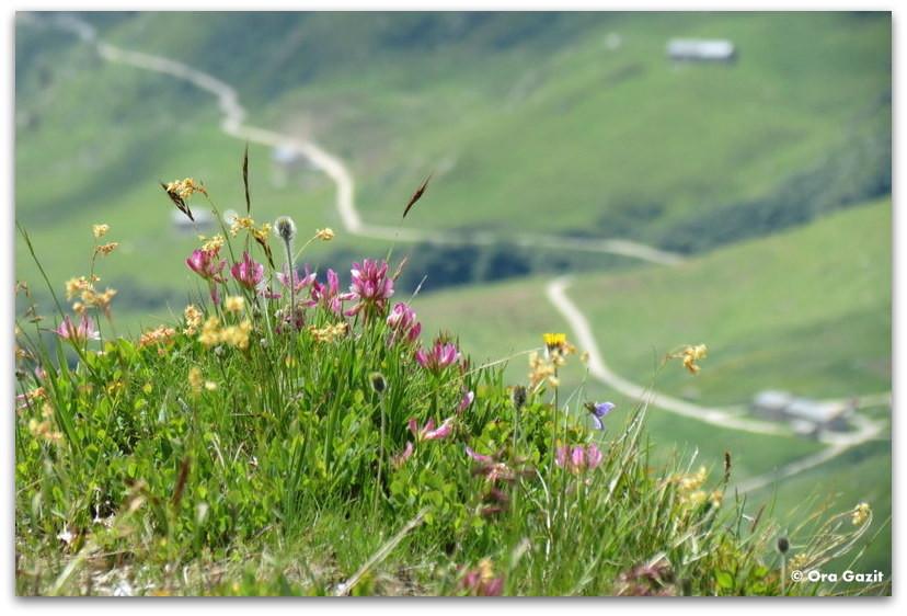 פרחים - טרק - סובב מון בלאן