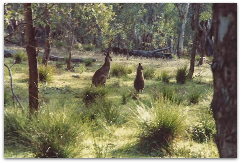 קנגורו - טרק - טיול לאוסטרליה