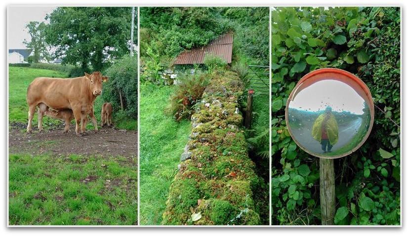 פרות ונוף ירוק - טרק - וולס