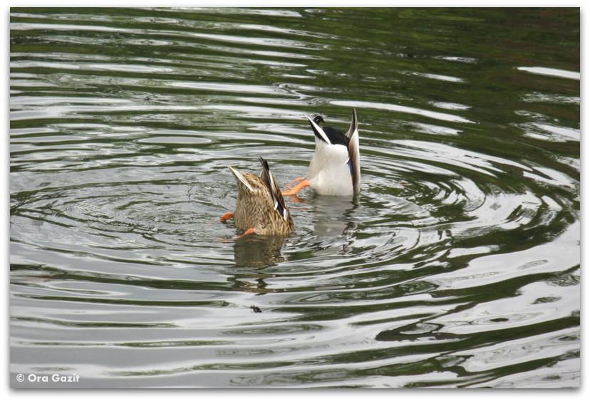 ברווזים צוללים במים, יער בולון, פריז