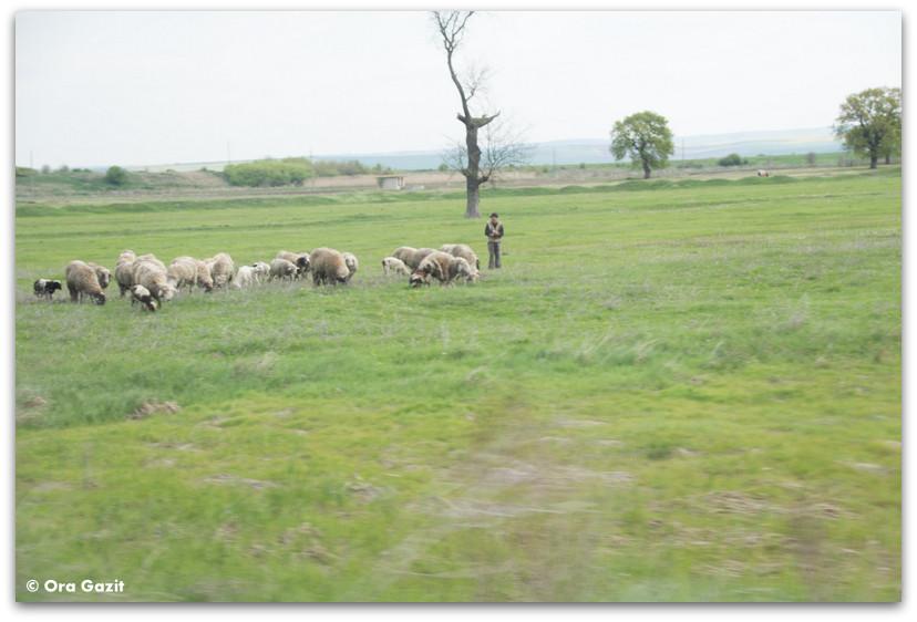רועה ועדר - בולגריה - טיול עם ילדים בחול