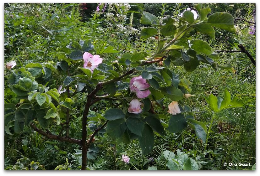 ורד בר - טרק הרי רילה בולגריה - יומן מסע
