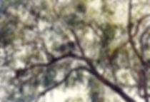 קואלה, אוסטרליה - יומן מסע - טיול אחרי צבא