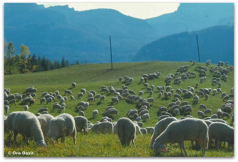 כבשים במרעה, דולומיטים, איטליה