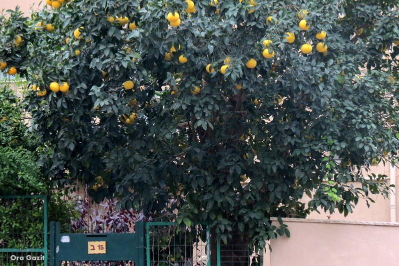 עץ הדר בכניסה לבית - שביל חיפה - טרק - טיול בחיפה