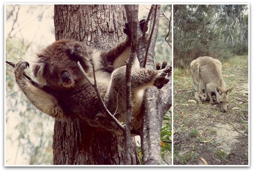 קואלה וקנגורו - טרק - טיול לאוסטרליה