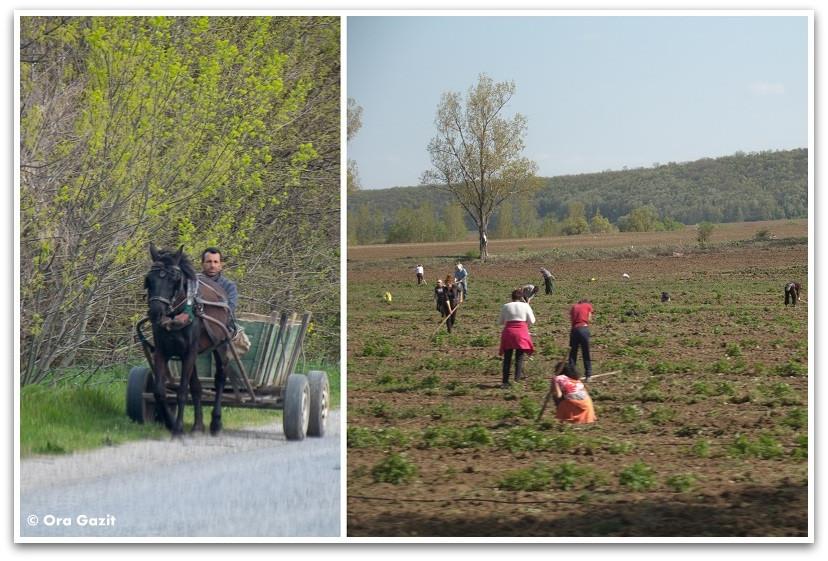 אנשים ובדים בשדה - בולגריה - טיול עם ילדים בחול