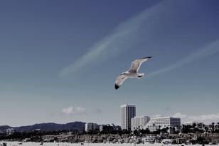 Santa Monica Seagull