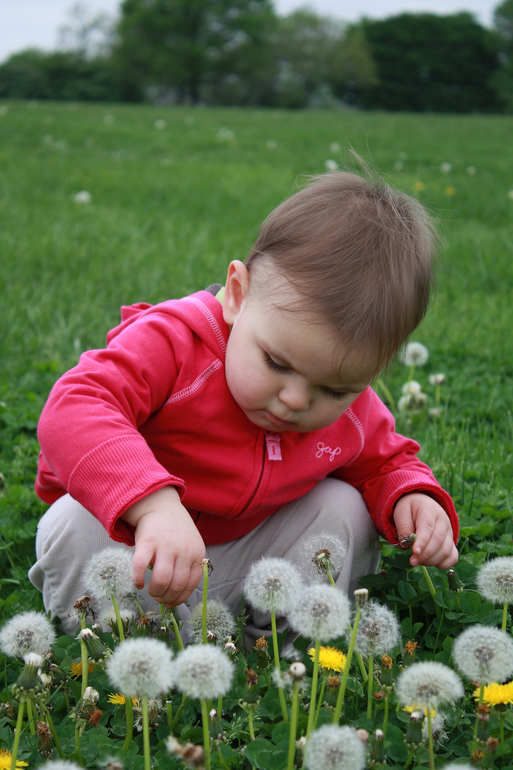 young child exploring dandelions in field