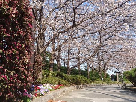 桜満開!いろんな桜withイプ