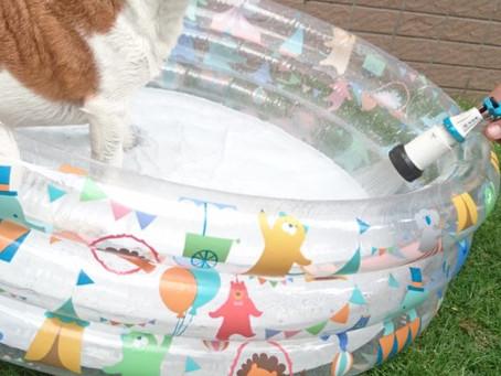 庭のプールで大満足?のジャックラッセル