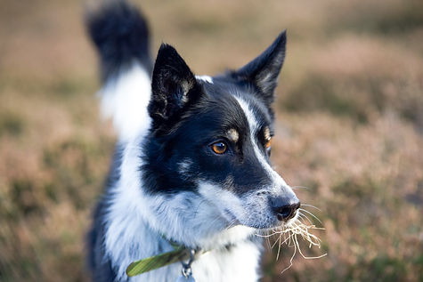 Pet Photography, Border Collie
