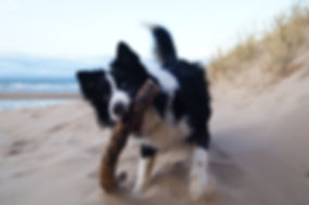 Pet Photography, Collie playing