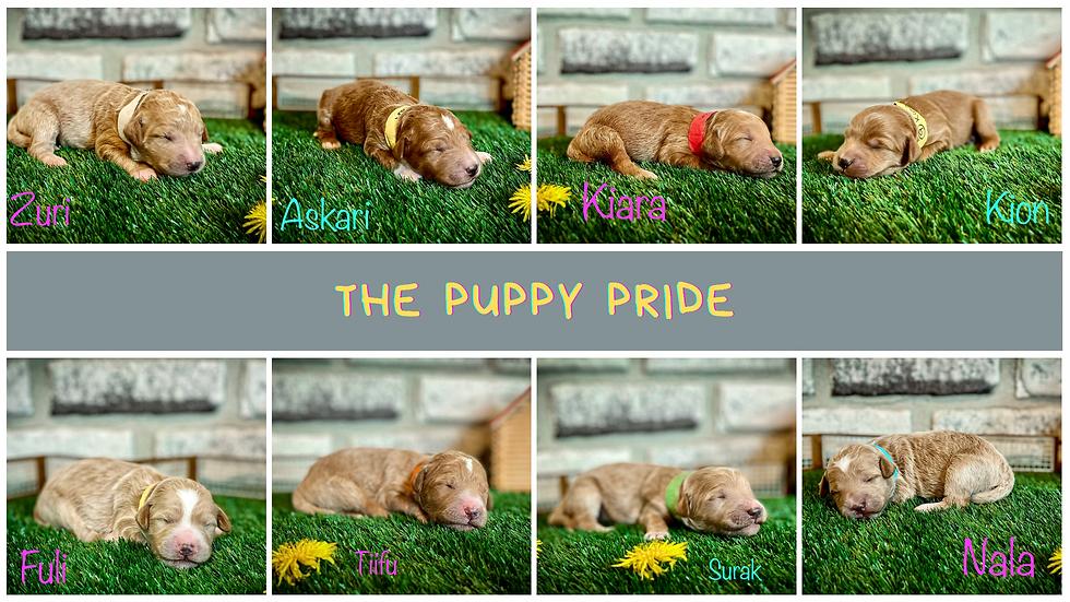 Pride female puppy 2nd pick