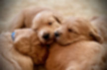 Goldendoodle pups sleeping.jpg