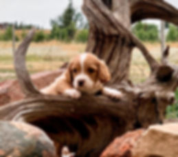 Apricot puppy.JPG