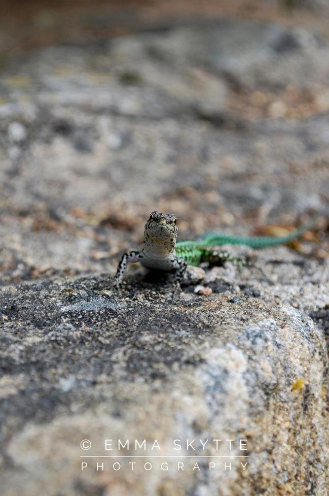 Sardinia Lizard