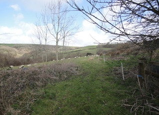 March 2015: Grazing sheep and hedge trimming