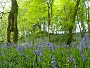 June 2013: Bluebells, Drive repair and resident cows