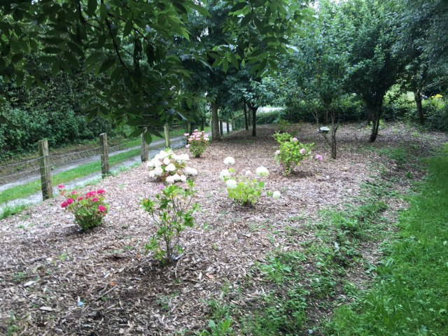 New Hydrangea Garden planted with different varieties.  Silage completed with a record 91 bales as a result.