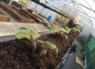 April 2016: Strawberry planting
