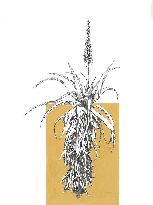 """"""" Mustard"""" Krantz Aloe A4 (unframed)"""