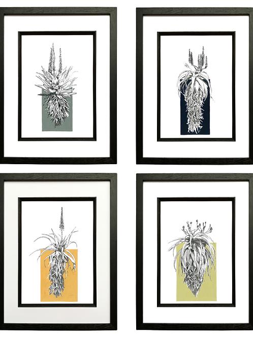 Set of 4 Aloe A4 Prints in Black Box Frame