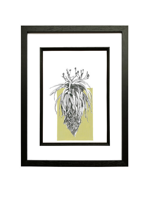 """Lime"" Sunbird Aloe A4 in Black Box Frame"
