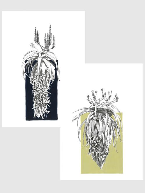 Set of 2 Aloe A4 Prints (unframed)