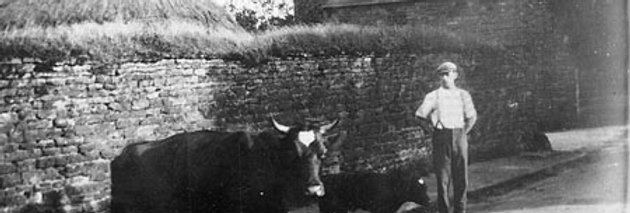 Hunter Bishop and cattle on Lime Avenue