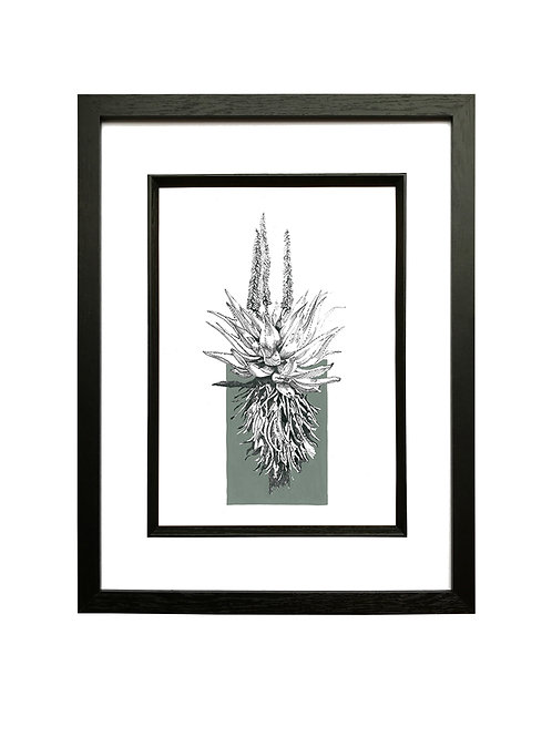 """Grey"" Ferox Aloe A4 in Black Box Frame"