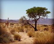 Giraffe on the reserve